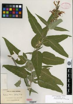 Image of Salvia marci