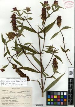 Image of Salvia mexiae