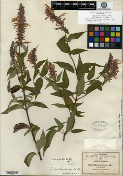 Image of Salvia michoacana