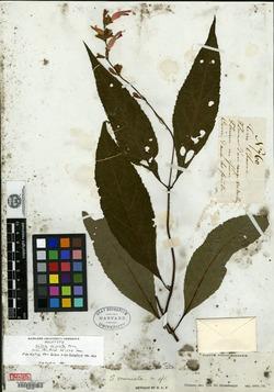 Image of Salvia miniata