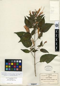 Image of Salvia muralis
