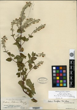 Image of Salvia breviflora