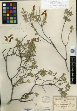 Image of Salvia oaxacana