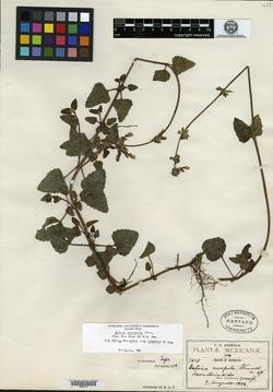 Image of Salvia oreopola