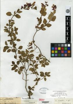 Image of Salvia oresbia