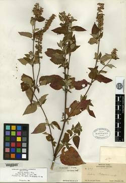 Salvia palmeri image