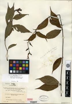 Image of Salvia pansamalensis