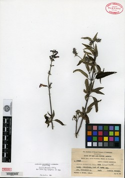 Image of Salvia pennellii