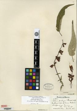 Image of Salvia perlonga