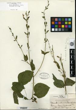 Image of Salvia phaenostemma