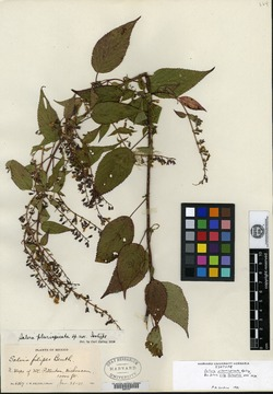 Image of Salvia plurispicata