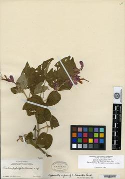 Image of Salvia lasiantha