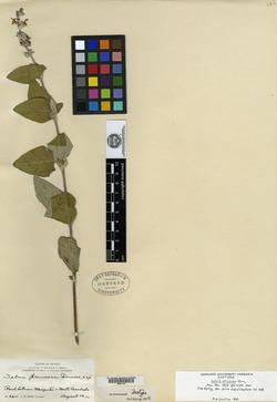 Image of Salvia pruinosa