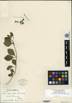 Image of Salvia prunifolia