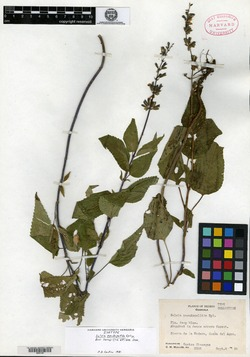 Image of Salvia pseudopallida