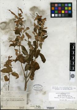 Image of Salvia pubescens