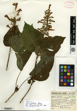 Image of Salvia punicans