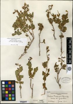 Image of Salvia purpusii