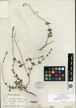 Image of Salvia pusilla