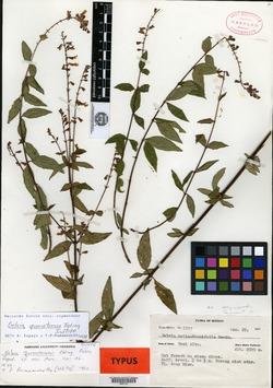 Image of Salvia quercetorum