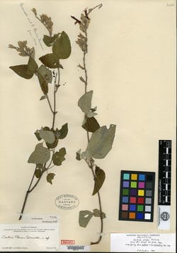 Image of Salvia rosei