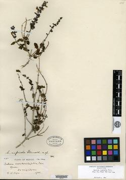 Image of Salvia rupicola