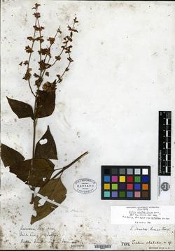 Image of Salvia sanctae-luciae