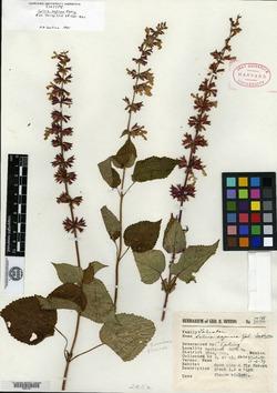 Image of Salvia sapinea