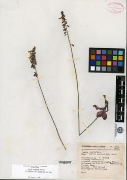 Image of Salvia scaposa