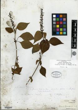 Image of Salvia seemannii