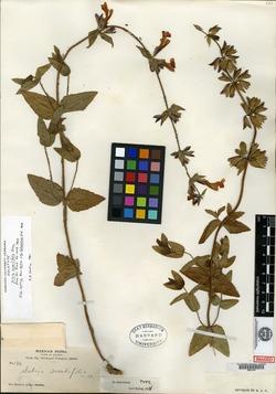 Image of Salvia sessilifolia