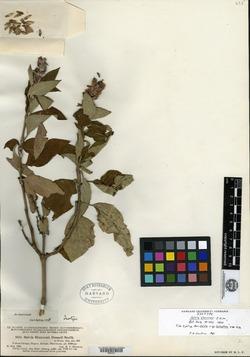Image of Salvia shannoni