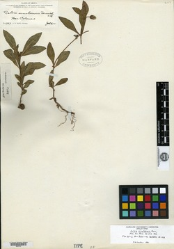 Image of Salvia sinaloensis