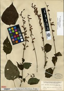 Image of Salvia subrubens