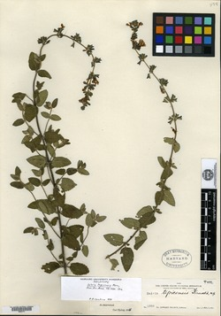 Image of Salvia tepicensis