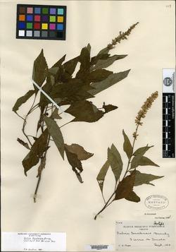 Image of Salvia tonalensis
