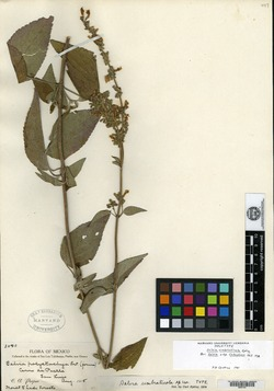 Image of Salvia umbraticola
