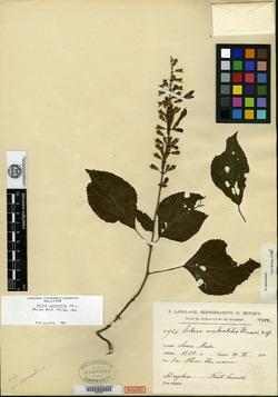 Image of Salvia umbratilis