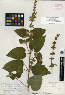Image of Salvia urica