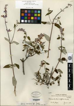 Image of Salvia ramosa