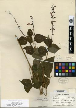 Image of Salvia venosa