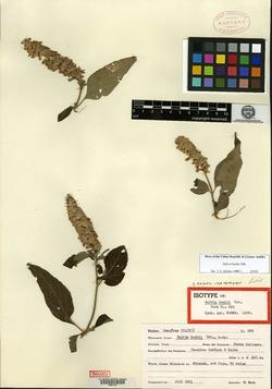 Image of Salvia buchii