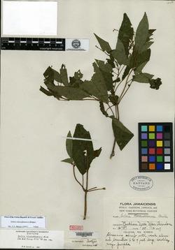 Image of Salvia clarendonensis