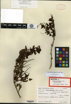 Image of Salvia haitiensis