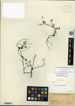 Image of Salvia parciflora