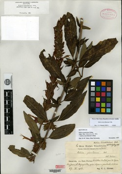 Image of Salvia aerea