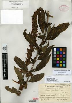 Image of Salvia aerea