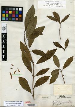 Image of Salvia speirematoides