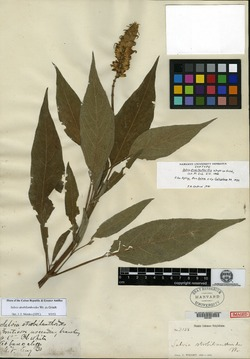 Image of Salvia strobilanthoides