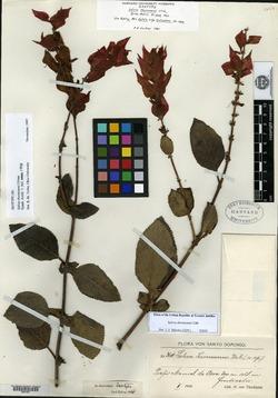 Image of Salvia thormannii